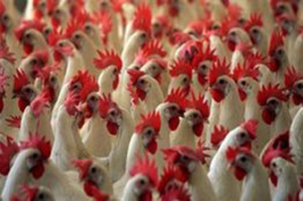Tibet has reported outbreak of the old H5N1 bird flu strain in its villages and the WHO has cautioned Sri Lanka regarding a threat of a possible outbreak